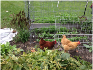 Chickens do a great job of ridding the garden of pests and rotted veggies.