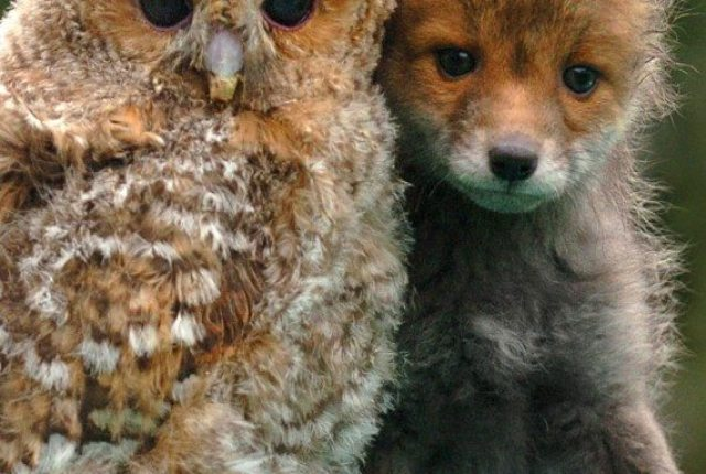 bebe_renard_fox-cub-and-baby-owl.jpg.html