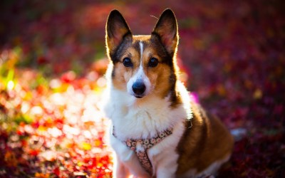 12 HD Corgi Dog Wallpapers