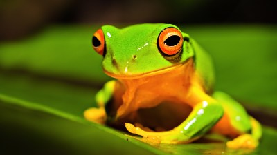28 Excellent HD Frog Wallpapers