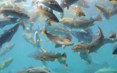 Interview: Are we accidentally genetically engineering the world's fish?