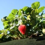 Wally Richards: Nearly Winter – time to get strawberries and get rid of hydrocotyle
