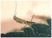 New Zealand Praying Mantis nymph