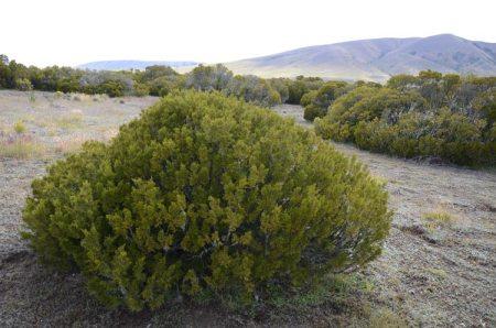 Ben Dhu Halocarpus bush