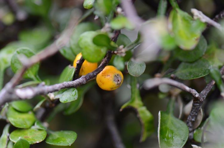 Paritutu Corokia fruit