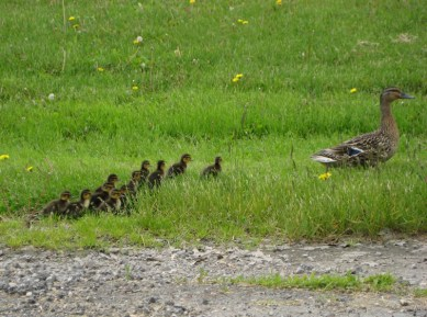 Mom and the Ducklings