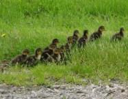 The troop of ducklings