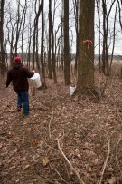 Taking an empty bucket to a tree to collect the sap.