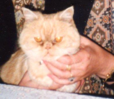 Cherub kitten