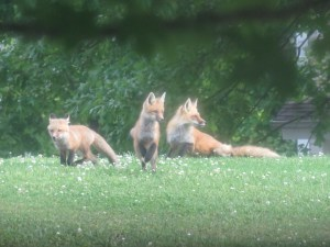 Foxes 073