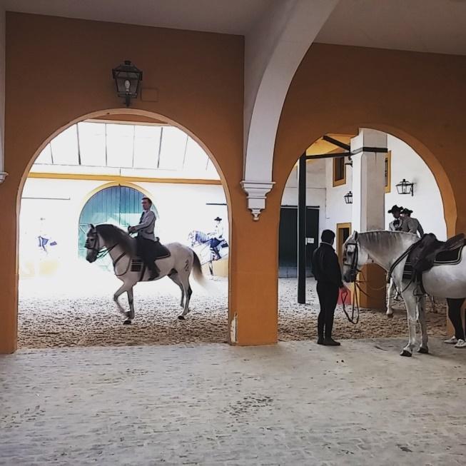 Cavalli andalusi si scaldano prima dello spettacolo alla Real Escuela Andaluza del Arte Equestre