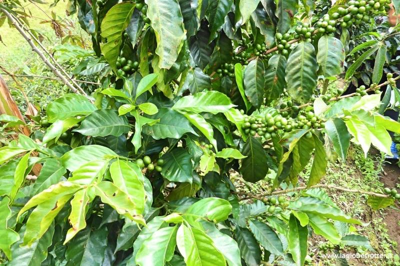 pianta-del-caffe-viaggio-Colombia