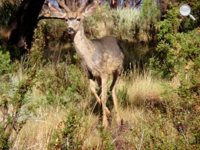 Mesa Verde National Park - Un cerf