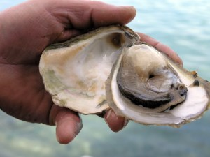 Ston Oyster
