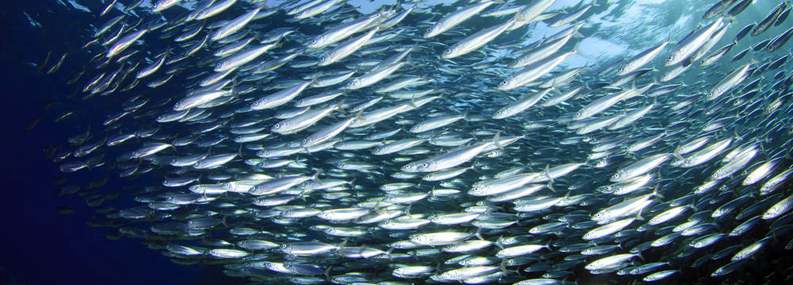 Image of large shoal of fish near surface of ocean