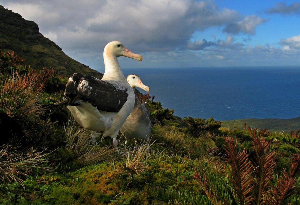 Tristan Albatross Ross Wanless