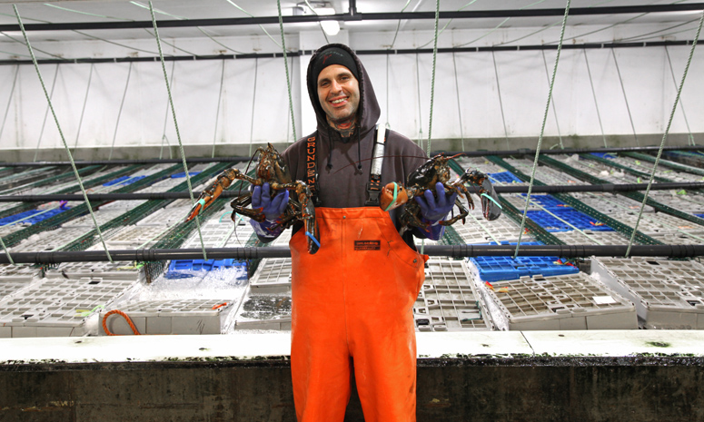 Maine Coast processing worker holding live sustainable lobster in front of crates