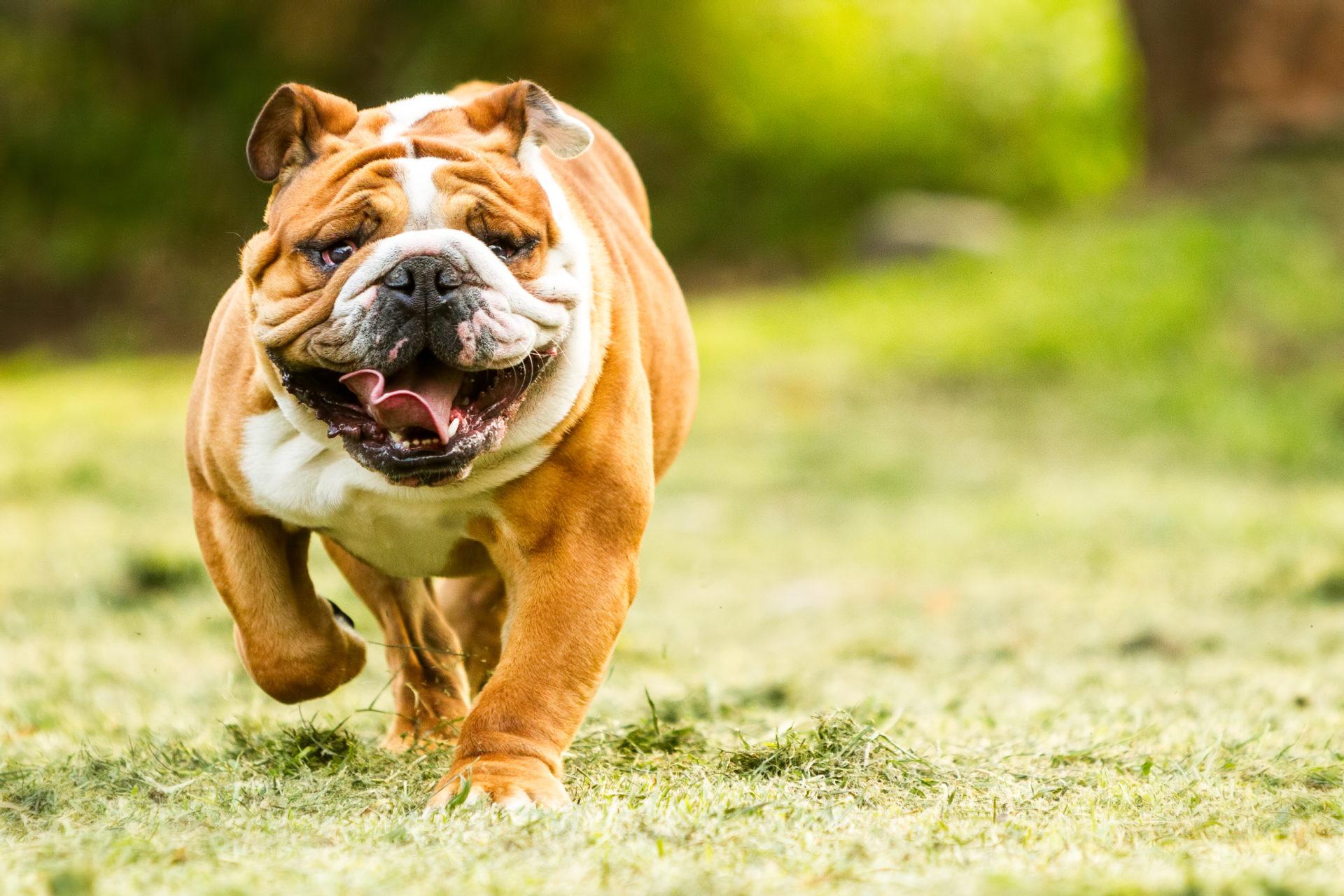 Fetching Dog Bulldog What Dog Breed Is Your Mystart Quiet Hypoallergenic Dog Breeds Quiet Dog Breeds List bark post Quiet Dog Breeds
