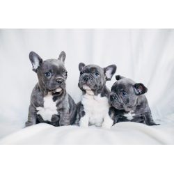 Small Crop Of Do French Bulldogs Shed