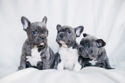 Small Of Do French Bulldogs Shed