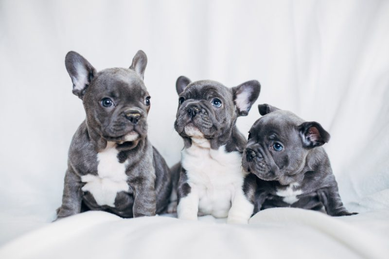 Large Of Do French Bulldogs Shed