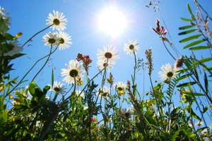 canstockphoto2590514 sun flowers 4