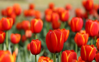 Tulip Mania: The National Tulip Day Inundates Amsterdam by Colors
