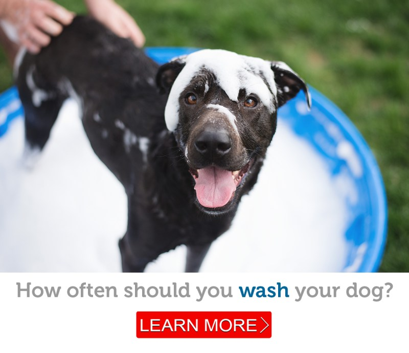 Large Of How Often Should You Wash Your Dog