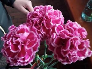 Cherry Nobio carnation