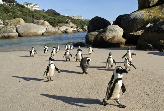Swim with Penguiins at Boulders Beach