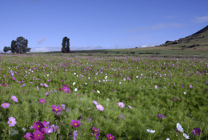 Cosmos Country, Free State