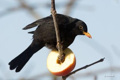 Amsel futtert Apfel