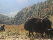 yak-grazing