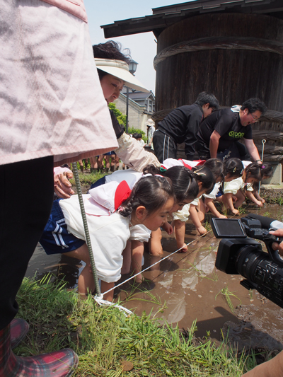 幼稚園児の餅米の田植え、一生懸命泥の中に一本、一本植えていきます。