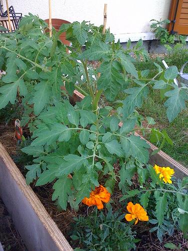 Mes tomates veulent du soleil !!!