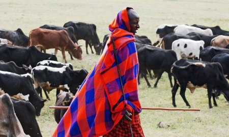 The Maasai taking their livestock into the Ngorongoro Caldera for grazing. Flickr   Harvey Barrison