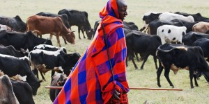 Emerging Diseases Threaten the Maasai People & Their Herds