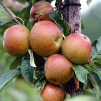 Apple Cox's Orange Pippin