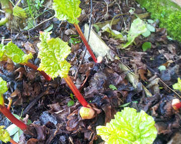 Guest blogger Richard Mulcahy's early rhubarb