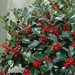Top 10 evergreen shrubs