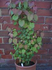 Katsura tree and clematis repens