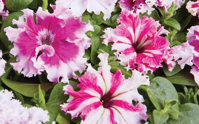 Getting the most from your petunias