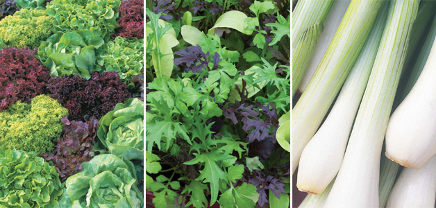Lettuce 'Ultimate Mixed', Salad Leaves 'Bright & Spicy' & Spring Onion 'White Lisbon'