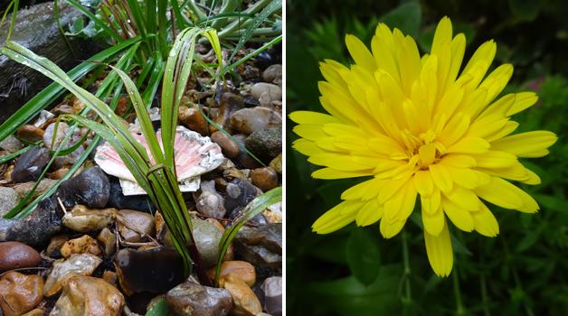 Pennisetum 'Blackjack' & Calendula 'Power Daisy'