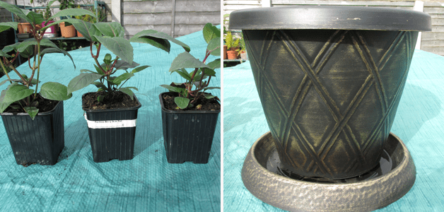 Fuchsia FUCHSIABERRY x 3 & Decorative Pot