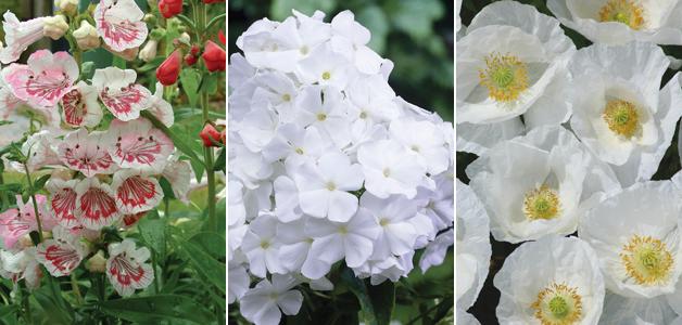 Penstemon 'Strawberries and Cream, Phlox 'David' and Poppy 'Bridal White'
