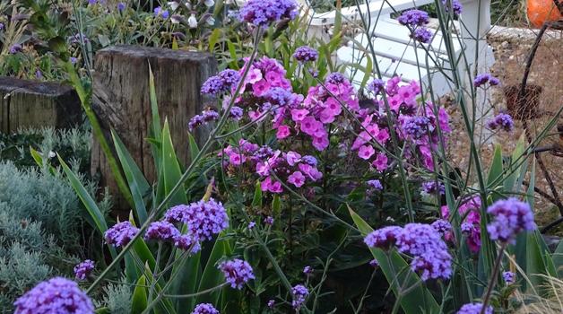 Verbena bonariensis and pinks