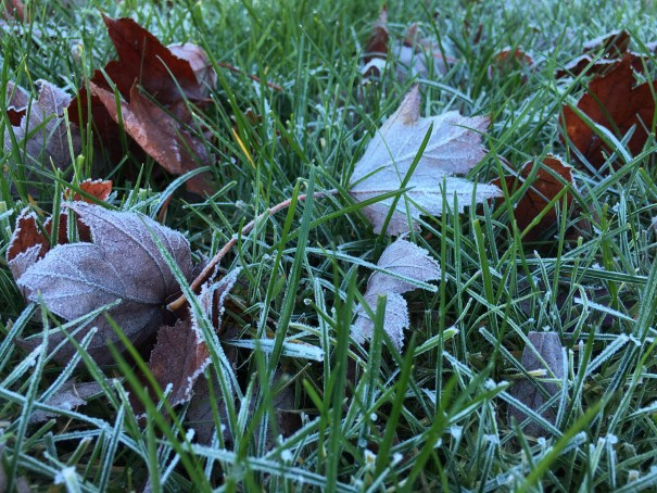 Leaves from our front maple tree fallen amid the grass, all frosted.