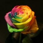 rosas_coloridas (3)