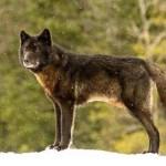 A férfi tehetetlenül nézte, ahogy a farkas közeledett a kutyájához — aztán megtörtént az elképzelhetetlen